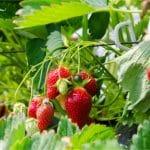Aardbeienvlek verwijderen